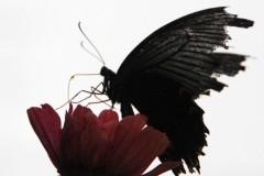 きりばやしひろき 公式ブログ/黒アゲハ 画像1