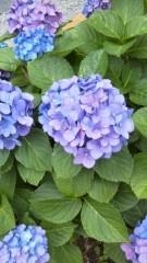 古郡ひろみ 公式ブログ/紫陽花 画像1