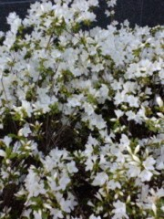 古郡ひろみ 公式ブログ/春の香り 画像1