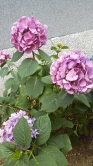 古郡ひろみ 公式ブログ/紫陽花 画像2
