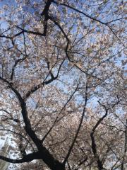 古郡ひろみ 公式ブログ/桜 画像1