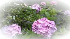 ここあ(プチ☆レディー) 公式ブログ/ピンクの紫陽花♪ 画像1