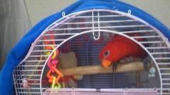 ここあ(プチ☆レディー) 公式ブログ/真っ赤な鳥ハナチャン♪♪ 画像1