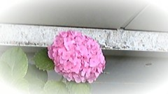 ここあ(プチ☆レディー) 公式ブログ/ピンクの紫陽花♪ 画像3