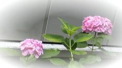 ここあ(プチ☆レディー) 公式ブログ/ピンクの紫陽花♪ 画像2