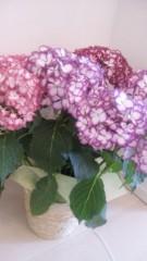 華彩なな 公式ブログ/紫陽花 画像1