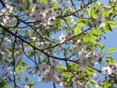 榎本くるみ 公式ブログ/葉桜 画像1
