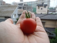 さとうゆみ 公式ブログ/朝摘みトマトとみーくんの体重 画像1