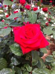 菱沼美波 公式ブログ/薔薇 画像3