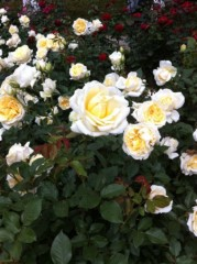 菱沼美波 公式ブログ/薔薇 画像2
