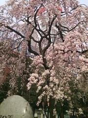 阿川祐未 公式ブログ/桜咲いてるよ! 画像1