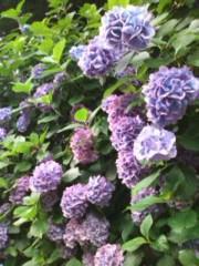 阿川祐未 公式ブログ/紫陽花っ 画像1