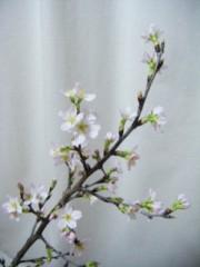西岡麻生 公式ブログ/さくらが 画像1