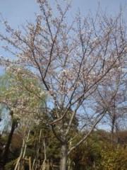 綾乃(かぐや) 公式ブログ/桜の木の下の幸せ( よう子) 画像1