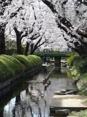 鈴木八朗 公式ブログ/桜を観んとや生まれけむ 画像1