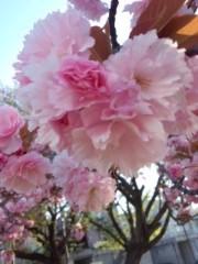 剛 公式ブログ/八重桜 画像1