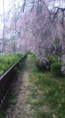あおきさやか 公式ブログ/名城公園枝垂れ桜真っ盛り! 画像1