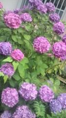 佐々木悠花 公式ブログ/紫陽花も可哀想やね。 画像1
