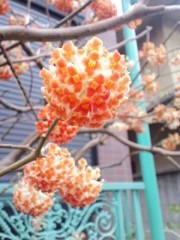 笠松江己子 公式ブログ/ミツマタ。 画像1