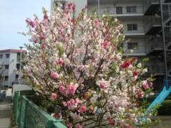 にゃんこ 公式ブログ/桃も桜のように綺麗ですにゃ。 画像1