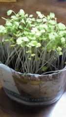 石井智也 公式ブログ/ルッコラスプラウト収穫 画像1