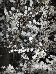 石井智也 公式ブログ/夜桜 画像1