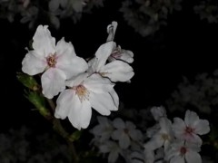 石井智也 公式ブログ/夜桜 画像3