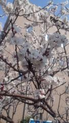 長尾美幸 公式ブログ/もう桜!? 画像1