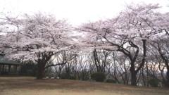 川久保秀一 公式ブログ/桜 画像1