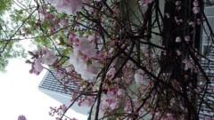 OZグレートライブ、ズキトモ揃って。 公式ブログ/桜がキレイ! 画像1