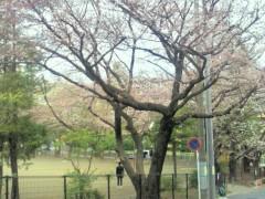 卜部和泉 公式ブログ/五分咲き☆ 画像1