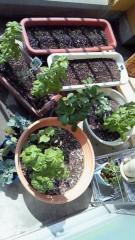 井内志保 公式ブログ/家庭菜園 画像1