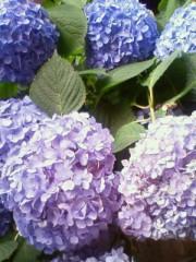 葵うらら 公式ブログ/紫陽花の季節♪ 画像1