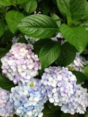 葵うらら 公式ブログ/紫陽花(((o(*゚▽゚*)o))) 画像1