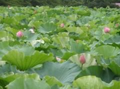 チェウニ 公式ブログ/ハスの花 画像3
