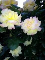 AYUMO 公式ブログ/薔薇が咲いたよ! 画像2