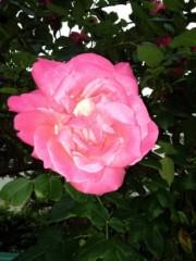 AYUMO 公式ブログ/薔薇が咲いたよ! 画像1