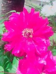 AYUMO 公式ブログ/お花が咲いたよ! 画像2