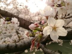 宙SORA 公式ブログ/サクラ2013 画像1