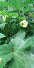 し〜ちゃん 公式ブログ/松阪で、[オクラの花]を発見〜♪ 画像2