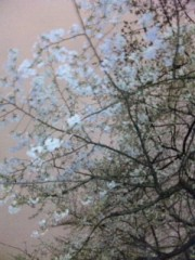 なおみ(チックタックブーン) 公式ブログ/満開! 画像1