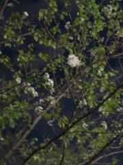 金原亭世之介 公式ブログ/桜が咲いてるΣ(  ̄□ ̄)!! ! 画像1