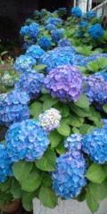 金原亭世之介 公式ブログ/紫陽花額の花七変化 画像1