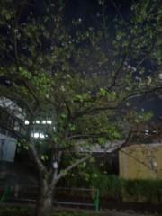 金原亭世之介 公式ブログ/桜が咲いてるΣ(  ̄□ ̄)!! ! 画像2