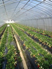 青山利恵 公式ブログ/いちごがり@奥田農園 画像2