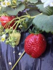 青山利恵 公式ブログ/いちごがり@奥田農園 画像1