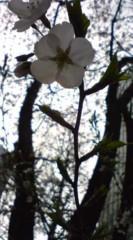 菊池隆志 公式ブログ/『街の桜♪o(^-^)o 』 画像2