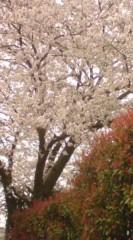 菊池隆志 公式ブログ/『本日の桜o(^-^)o 』 画像1
