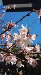 菊池隆志 公式ブログ/『鳥居横の桜(  ̄▽ ̄)』 画像1
