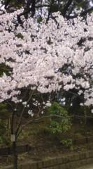 菊池隆志 公式ブログ/『桜咲く& 猫o(*^-^)o 』 画像2
